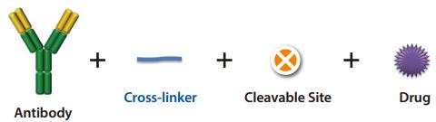 Antibody-drug conjugate (ADC) using cross-linkers