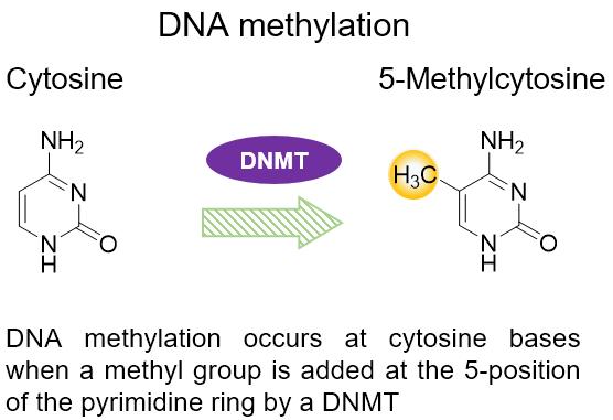 Mechanism of DNA methylation