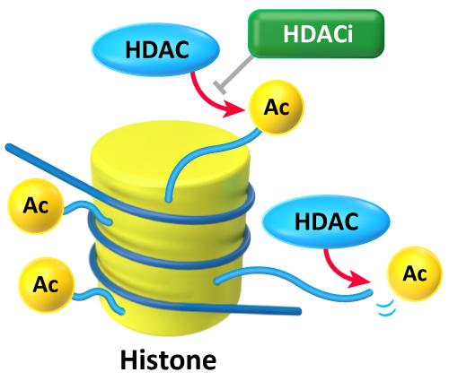 Mechanism of Histone deacetylase (HDAC)