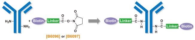 Biotin labeling of antibodies using B6096 and B6097