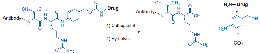 Dipeptides cleaved by enzymes in the lysosome