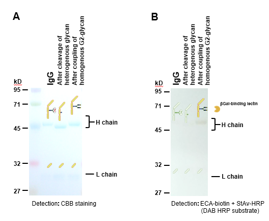 SDS-PAGE and lectin-blotting