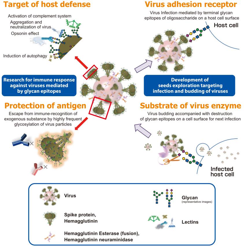 Virus-oligosaccharide relationship