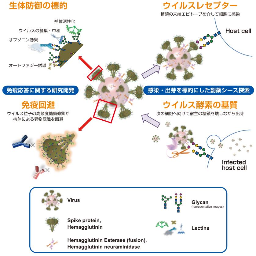 ウイルスと糖鎖の深い関係