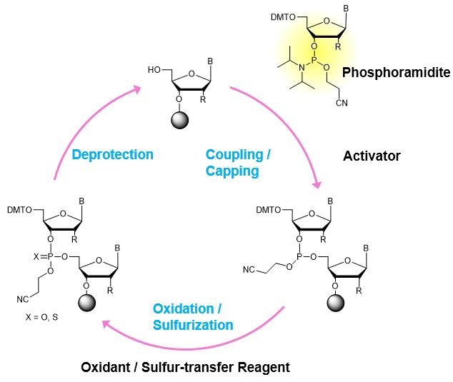 Synthetic Cycle of Oligonucleotide