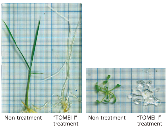 Cleared Oryza sativa (left) and Arabidopsis thaliana (right) by TOMEI