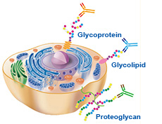 Anti-Glyco Antibodies/Lectin